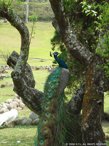 站在樹上的孔雀