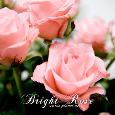 brightrose.jpg
