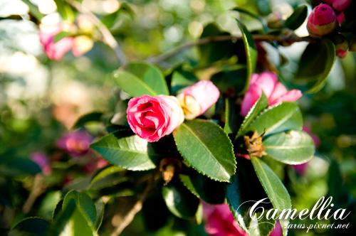 camellia02.jpg