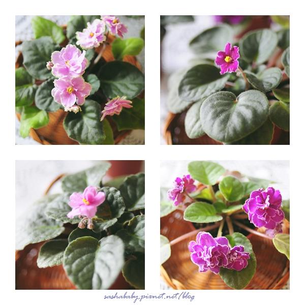 violets_pixnet