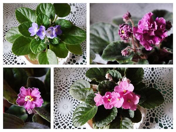 may_violets