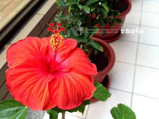 扶桑花繼續開花
