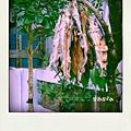 樹上的飛魚乾