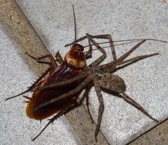 拉牙是蟑螂的天敵