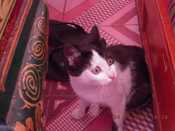 白瑪家的貓這是還未離家前,她像稚氣未脫的貓,我們去一趟巴松措回來,她後來回來可就不同~變成熟了嘍!.jpg