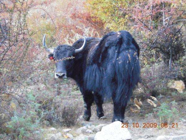在路上突然跑出來的氂牛!.jpg