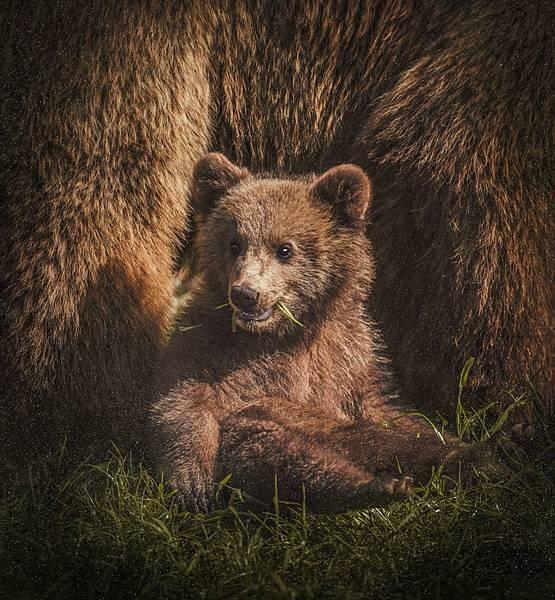 熊臉辨識你聽過嗎?最新人工智慧運用此技術保育棕熊喔~