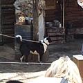 聰明的牧羊犬