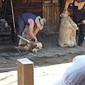 牛仔剪真的羊