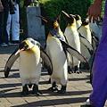 超可愛的國王企鵝