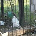 白色的貓頭鸚