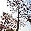 東豐路-油桐