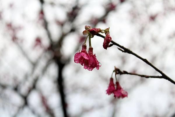 2012.02.12 大尖山尋櫻