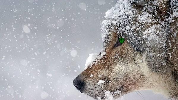 wolf-2043464_960_720.jpg