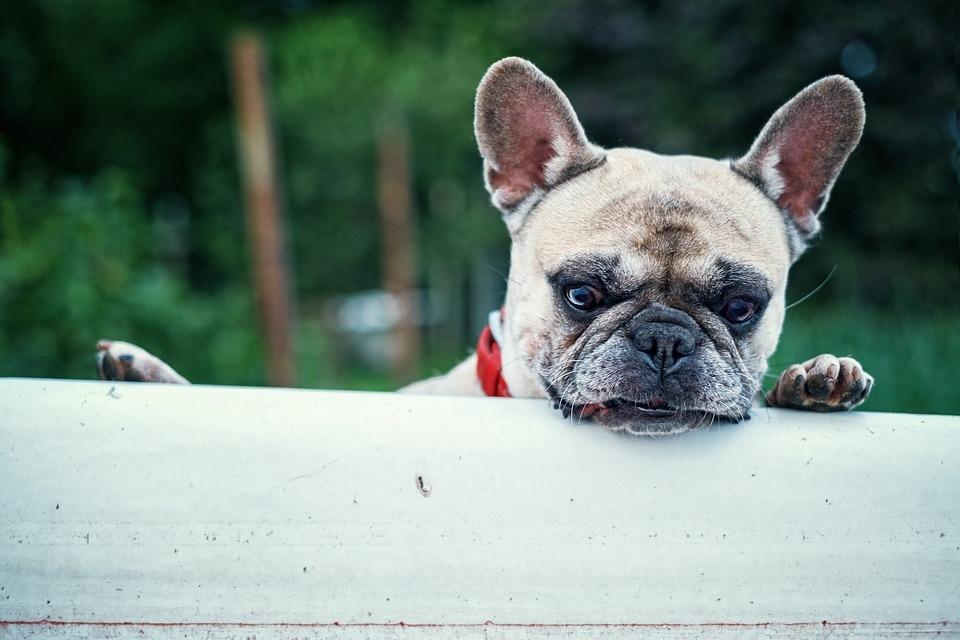 french-bulldog-1482614_960_720.jpg