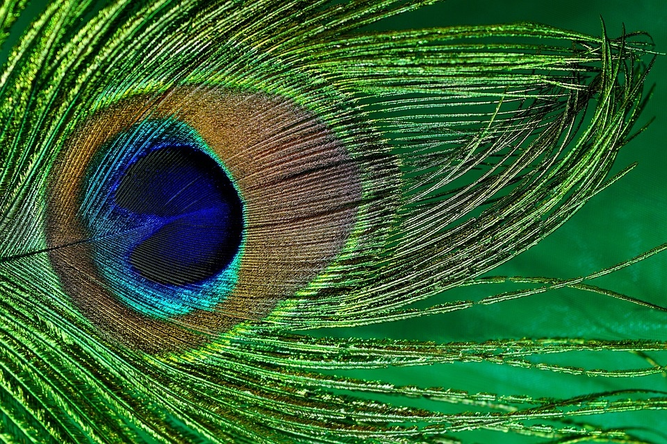 peacock-feather-3030306_960_720.jpg