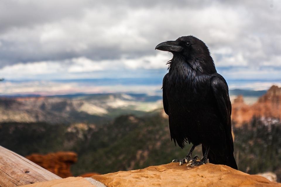 crow-828944_960_720.jpg