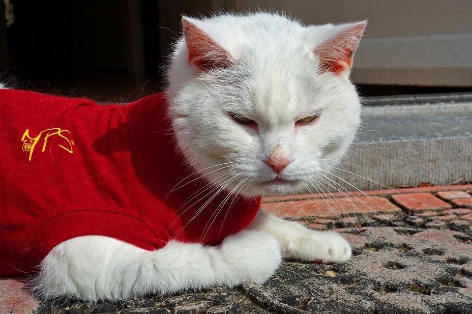white-cat-3308645_960_720.jpg