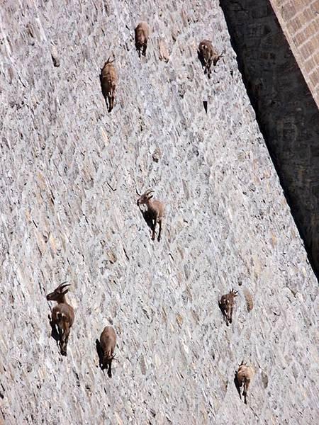 它們喜歡吃壩牆上的苔蘚.地衣.jpg