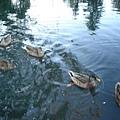 池塘的野鴨們