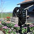 tulip 024.jpg