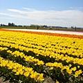 tulip 029.jpg
