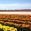 tulip 030.jpg