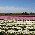 tulip 035.jpg