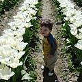tulip 036.jpg