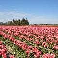 tulip 055.jpg
