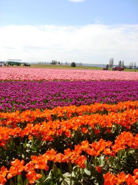 tulip 056.jpg