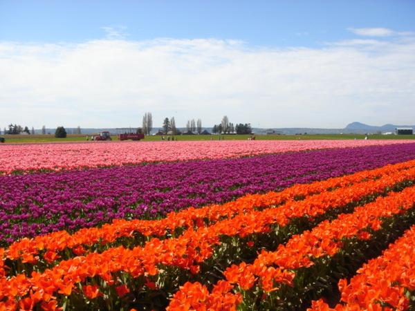 tulip 057.jpg