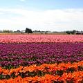 tulip 058.jpg