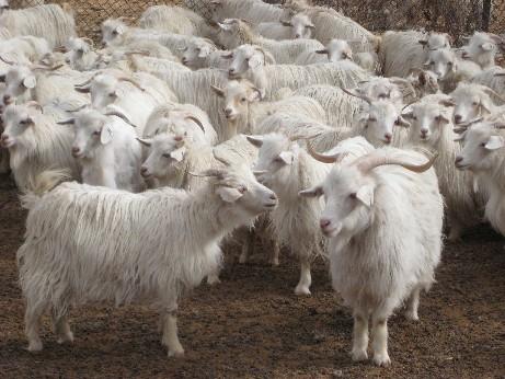 cashmere goats.JPG