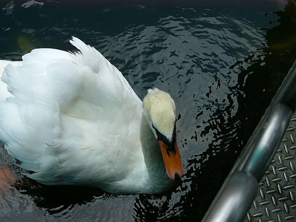 白天鵝再一