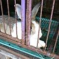 在澎湖遇見的肥兔子