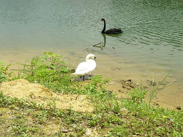 很肥的白天鵝和黑天鵝