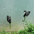 黑天鵝都自己在一起