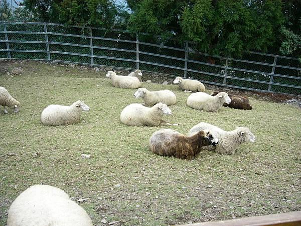一群羊..吃飽了在休息