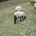 裡頭唯一看見有尾巴的羊
