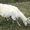 剛演完脫衣秀的羊