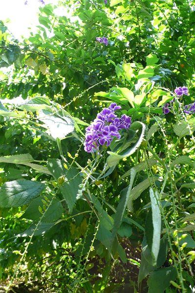 不知名紫色小花