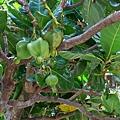 棋盤腳的果實