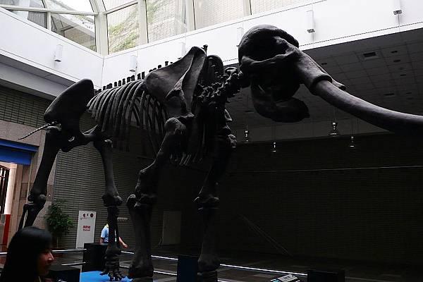 牠是澎湖象的骨架
