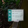 臘腸樹的解說牌