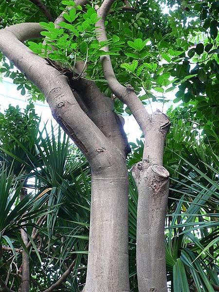 臘腸樹的真面目