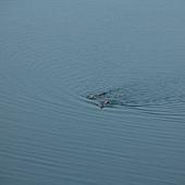 088 早起在日月潭晨泳的勇士們.JPG