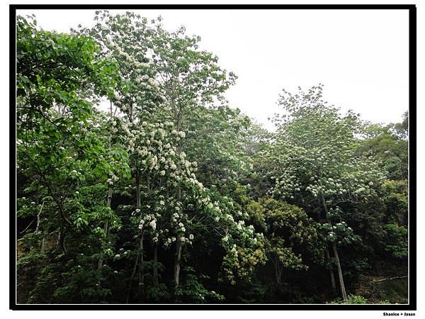 12 滿山遍野的桐花.jpg