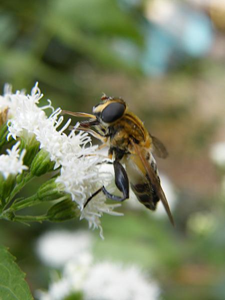 嗡嗡嗡 小蜜蜂.JPG