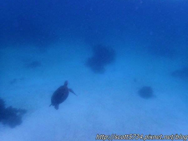 BOHOL01_海龜